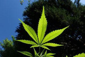 Cannabis hemp flower