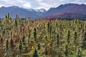 CBD fields Colorado