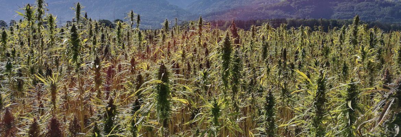 Cannabidiol hemp cannabis